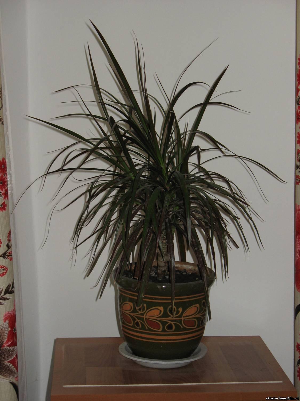 уход за пальмой драцена в домашних условиях видео